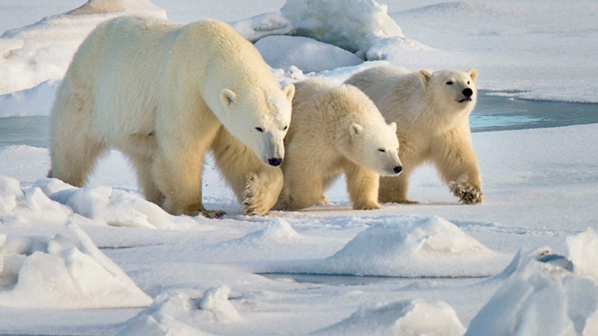 Photo of polar bears in their natural habitat.