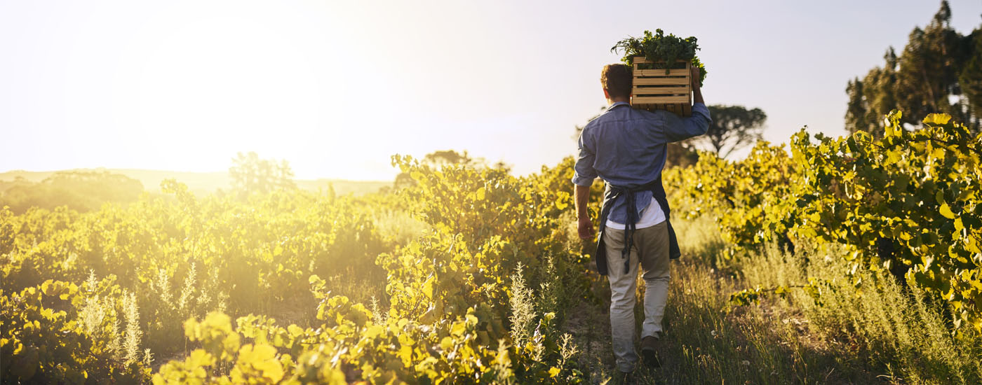 A man carries a crate of grapes in a field.